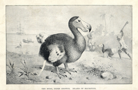 Dodo, Raphus cucullatus, hunted by sailors.