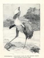 Phorusrhacos longissimus, Patagonian giant bird.