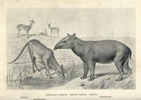 Xiphodon gracilis, Anoplotherium latipes and Palaeotherium.  20042002508| 写真素材・ストックフォト・画像・イラスト素材|アマナイメージズ