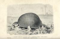 Giant armadillo, Glyptodon asper.
