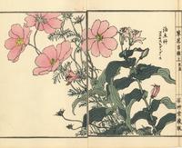 Garden cosmos and toad lily, Cosmos bipinnatus