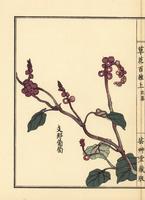 Crimson glory vine, Vitis coignetiae