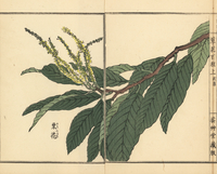 Japanese chestnut flower, Castanea crenata