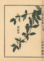 Japanese climbing gentian, Tripterospermum japonicum