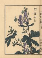 Monkshood, Aconitum napellus