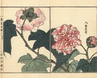 Double-petaled hibiscus, Hibiscus mutabilis