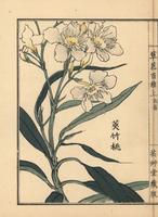 Oleander, Nerium oleander  20042002556| 写真素材・ストックフォト・画像・イラスト素材|アマナイメージズ