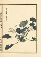 Sumire violet, Viola mandshurica