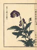 Japanese violet, Viola sp.
