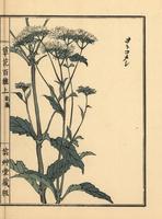 Bai Jiang Cao, Patrinia villosa.