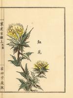 Safflower, Carthamus tinctorius.