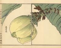 Japanese banana plant, Musa basjoo.
