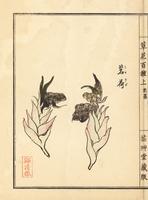 Japanese ginger, Zingiber mioga.
