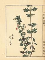 Hikiyomogi, Siphonostegia chinensis.