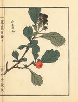 Japanese hawthorn, Crataegus cuneata.