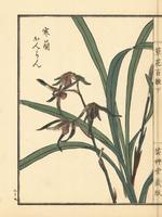 Kanran orchid, Cymbidium kanran 20042002587| 写真素材・ストックフォト・画像・イラスト素材|アマナイメージズ