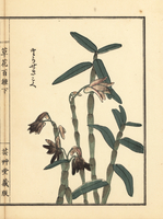 Japanese stone orchid, Dendrobium moniliforme.