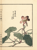 Garden nasturtium, Tropaeolum majus.