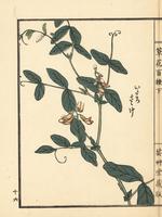 Itachi sasage, Lathyrus davidii.