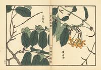 Chinese honeysuckle, Combretum indicum.