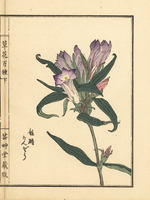 Japanese gentian, Gentiana scabra