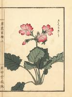 Japanese primrose, Primula sieboldii.  20042002631| 写真素材・ストックフォト・画像・イラスト素材|アマナイメージズ