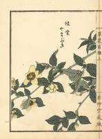 Yamabuki or Kerria japonica.