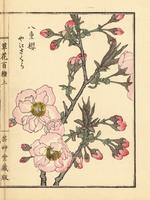 Japanese cherry blossom, Prunus serrulata var. spontanea.