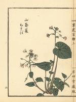 Japanese horseradish, Wasabia japonica.