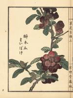 Flowering quince, Chaenomeles speciosa.