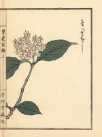 Linden arrowwood, Viburnum dilatatum Thunb.