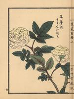 Roseleaf bramble, Rubus rosifolius.  20042002640| 写真素材・ストックフォト・画像・イラスト素材|アマナイメージズ
