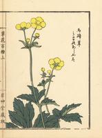 Umano ashigata or Ranunculus japonicus.