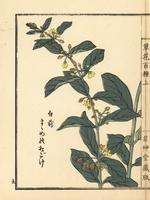 Suzumeno okoge, Cynanchum japonicum.