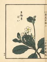 Yeddo hawthorn, Rhaphiolepis umbellata.