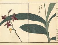 Chinese ground orchid, Bletilla striata.