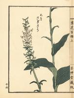 Aosagisou, Habenaria sagittifera.