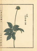 Japanese ginseng, Panax japonicus.