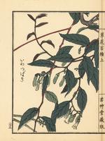 Iwatsubaki, Epigaea asiatica.