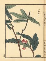 Iwanashi, Epigaea asiatica. 20042002669| 写真素材・ストックフォト・画像・イラスト素材|アマナイメージズ