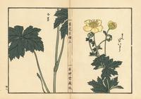 Asian globeflower, Trollius asiaticus. 20042002674| 写真素材・ストックフォト・画像・イラスト素材|アマナイメージズ
