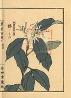 Japanese star anise, Illicium anisatum. 20042002677| 写真素材・ストックフォト・画像・イラスト素材|アマナイメージズ