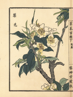 Japanese pear tree blossom, Pyrus pyrifolia.