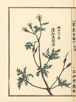 Herb Robert, Geranium robertiana.