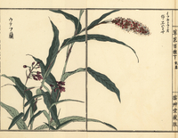 Japanese bistort and Ponerorchis graminifolia.  20042002687| 写真素材・ストックフォト・画像・イラスト素材|アマナイメージズ
