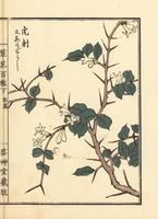 Aridoushi, Damnacanthus indicus.