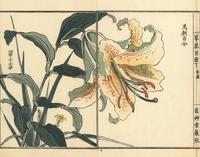 Golden rayed lily, Lilium auratum