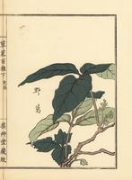 Japanese arrowroot, Pueraria lobata.