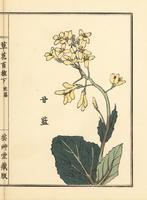 Cabbage flower, Brassica oleracea var. capitata.