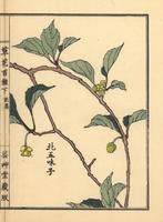 Northern five flavour berry, Schisandra chinensis 20042002718| 写真素材・ストックフォト・画像・イラスト素材|アマナイメージズ